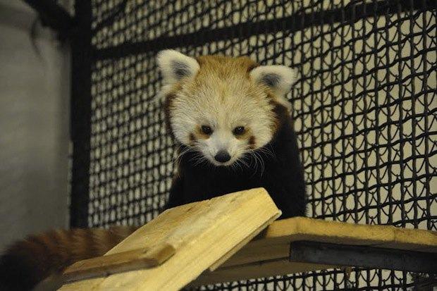 Красная панда вмосковском зоопарке. Изображение № 3.