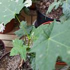 Где посадки: Что москвичи выращивают на балконе. Изображение №30.