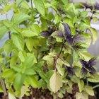 Где посадки: Что горожане выращивают на балконах иподоконниках. Изображение №17.