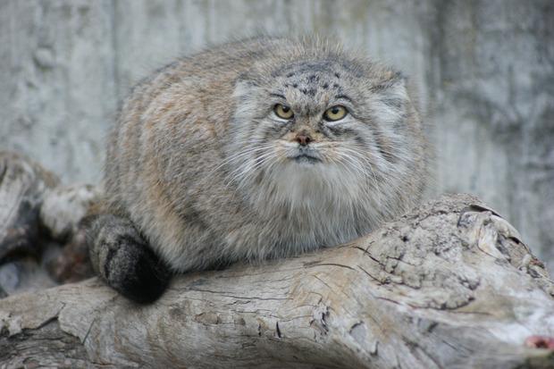 Московский зоопарк объявил конкурс на дизайн манула. Изображение №1.