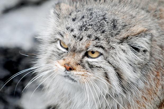 Талисманом Московского зоопарка стал манул. Изображение №1.