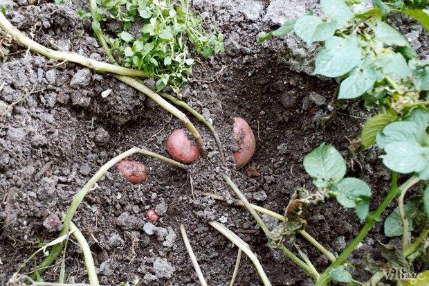 На районе: Как разбить огород и выращивать бесплатные овощи для соседей в Шушарах. Изображение № 6.