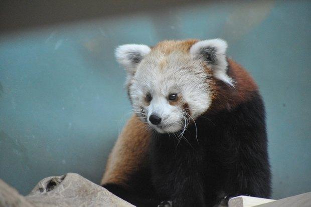ВМосковском зоопарке теперь можно увидеть красную панду поимени Зейна. Изображение № 1.
