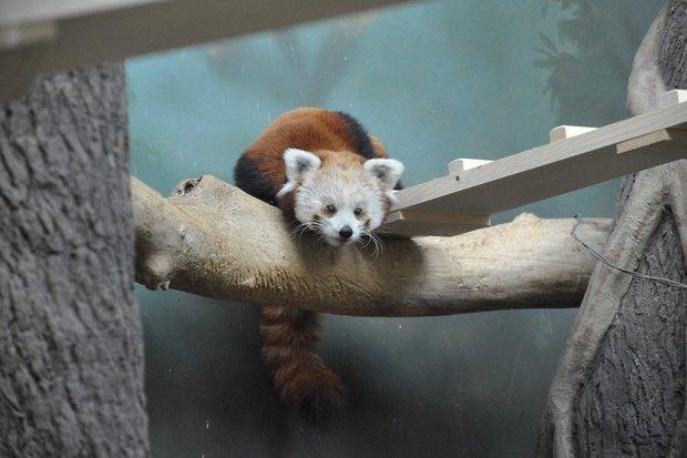ВМосковском зоопарке теперь можно увидеть красную панду поимени Зейна. Изображение № 4.