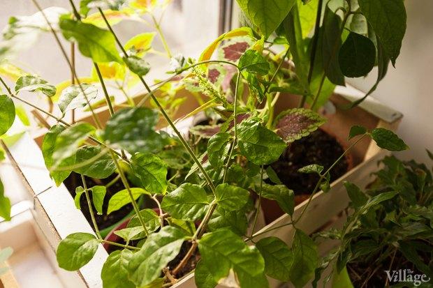 Где посадки: Что горожане выращивают на балконах иподоконниках. Изображение № 22.