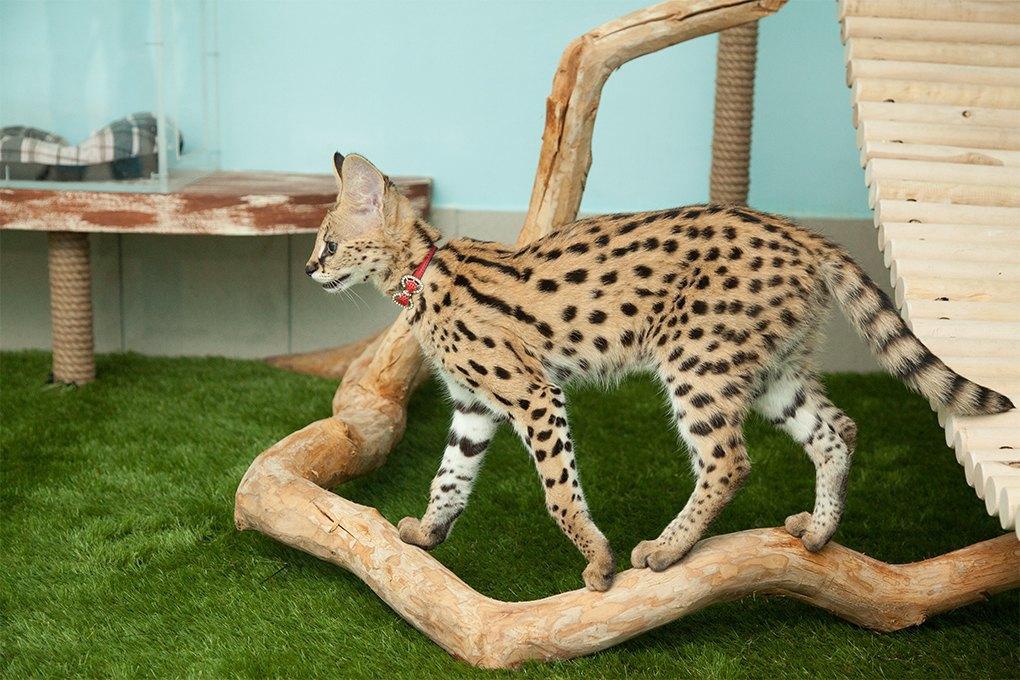 «Мурмулет»: Как заработать на котятах за полмиллиона рублей. Изображение № 9.