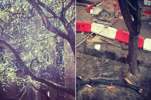 Личный опыт: Как спасти дерево под окном от вырубки. Изображение № 5.