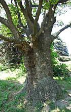 Киевские деревья получат статус памятников. Изображение № 6.