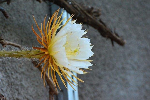 Как цветёт «Царица ночи». Изображение № 2.