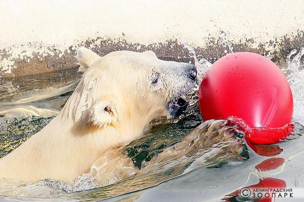 Горожанам предлагают придумать имя для белого медвежонка иззоопарка. Изображение № 1.