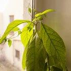 Где посадки: Что горожане выращивают на балконах иподоконниках. Изображение №28.