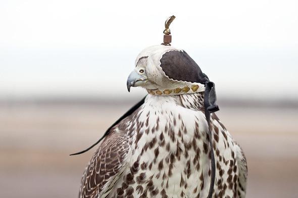 Клобучок — специальный колпак, который птицам надевают на голову во время перевозки, чтобы они чувствовали себя комфортно и не нервничали.. Изображение №19.