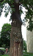 Киевские деревья получат статус памятников. Изображение № 5.