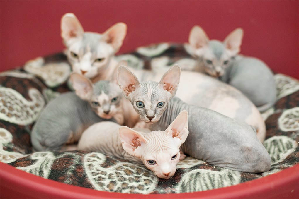 «Мурмулет»: Как заработать на котятах за полмиллиона рублей. Изображение № 8.