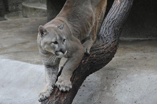 В московском зоопарке появилась пума. Изображение № 1.