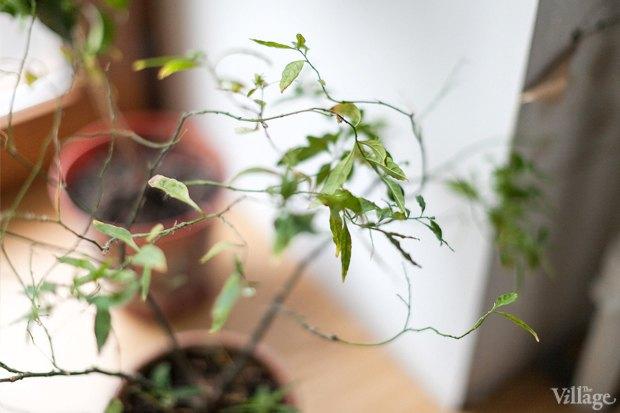 Где посадки: Что горожане выращивают на балконах иподоконниках. Изображение № 73.