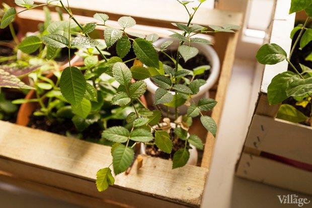 Где посадки: Что горожане выращивают на балконах иподоконниках. Изображение № 23.