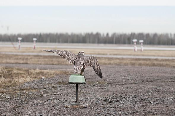 Подрезать крылья: Как работают орнитологи на аэродромах. Изображение № 28.