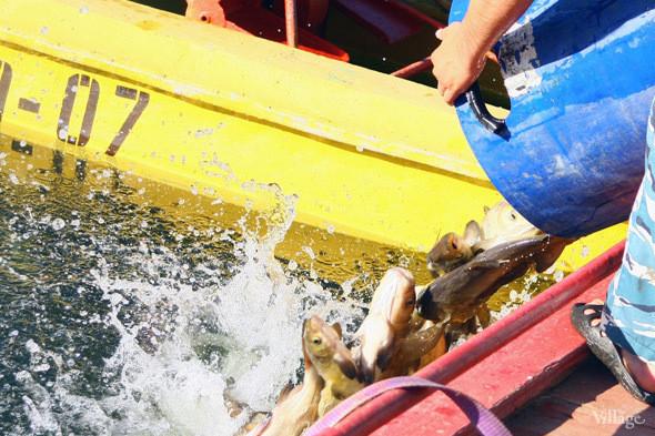 Изображение 19. В Голицынский пруд Парка Горького выпустили 400 кг рыбы.. Изображение № 4.