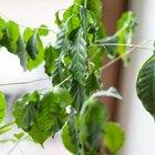 Где посадки: Что горожане выращивают на балконах иподоконниках. Изображение №81.