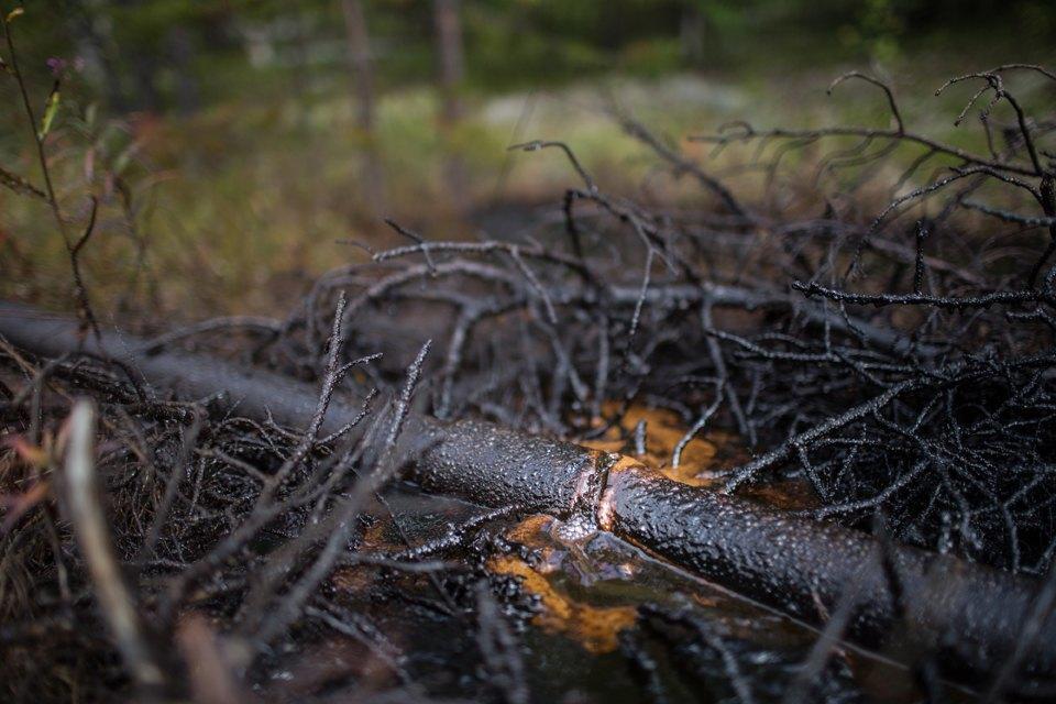 Как леса Коми очищают от нефти. Изображение № 26.