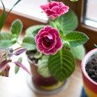 Где посадки: Что горожане выращивают на балконах иподоконниках. Изображение №80.