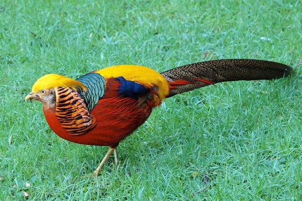 Золотой фазан. Изображение № 2.
