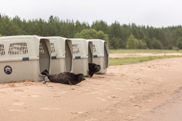 Две вылеченные нерпы возвращаются в Ладожское озеро. Изображение № 4.