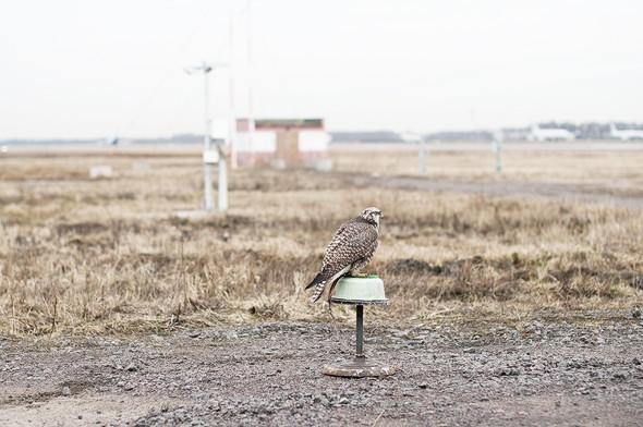 В Пулково для отпугивания залётных птиц используют специально натренированных соколов-сапсанов и балобанов. Изображение № 24.