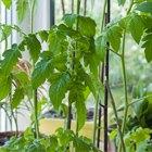 Сделай сад: Что киевляне выращивают у себя на балконах. Зображення № 18.