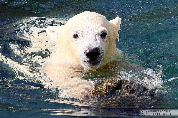 Горожанам предлагают придумать имя для белого медвежонка иззоопарка. Изображение № 2.