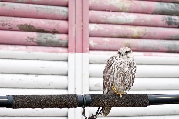 Подрезать крылья: Как работают орнитологи на аэродромах. Изображение № 27.