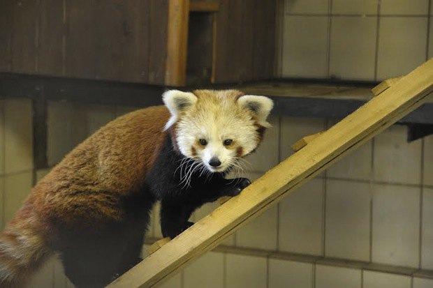 Красная панда вмосковском зоопарке. Изображение № 1.
