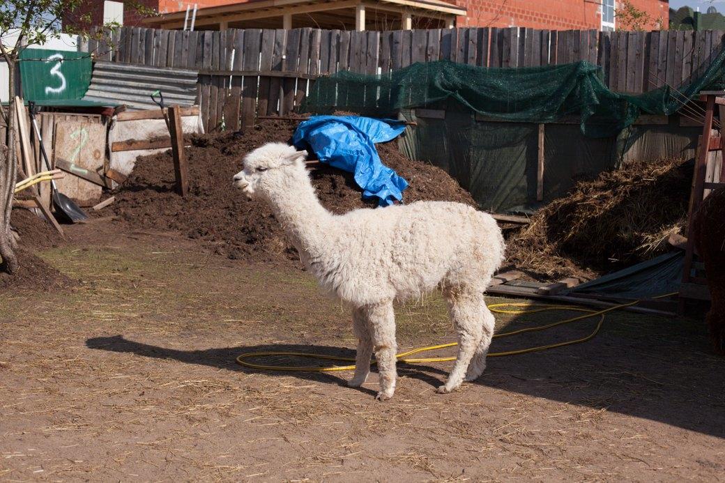 Кудряш наш: Как живут московские альпаки. Изображение № 3.