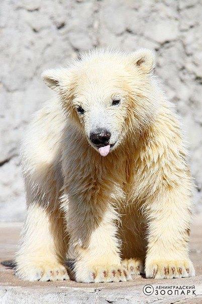 Горожанам предлагают придумать имя для белого медвежонка иззоопарка. Изображение № 4.