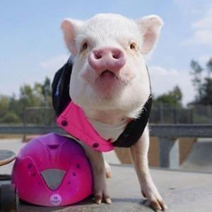 На кого подписаться: Свинка Гамлет, рассекающая на розовом Porsche — Жизнь на Wonderzine