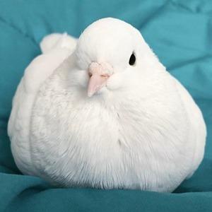 На кого подписаться: Инстаграм домашнего голубя Миу — Жизнь на Wonderzine