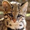 В Бразилии обнаружили новый вид диких кошек