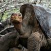 Самец черепахи так много спаривался, что спас свой вид от вымирания