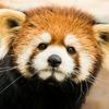 К обитающей в московском зоопарке красной панде приехал жених из Польши