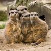 Учёные выяснили,  что сурикаты — самые жестокие млекопитающие