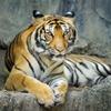 Мировая популяция диких тигров начала расти впервые за сто лет