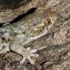 На Мадагаскаре нашли новый вид гекконов, которые лысеют от страха