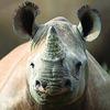 На аукцион выставили убийство носорога, чтобы спасти его сородичей