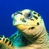 Ученые обнаружили, что морские черепахи бисса светятся в темноте