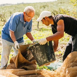 Осень в Италии:  Гастротуризм и сбор  олив на Сицилии