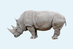 Последний в мире самец белого носорога зарегистрировался в Tinder