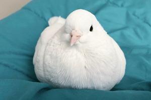 На кого подписаться: Инстаграм домашнего голубя Миу