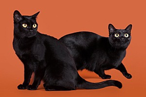 Братья-коты обобрали жителей графства Эссекс