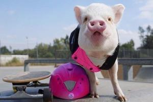 На кого подписаться: Свинка Гамлет, рассекающая на розовом Porsche